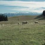 Sheep on Film
